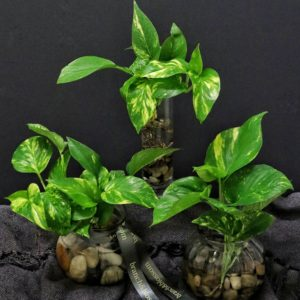 Living Gifts Water Plants